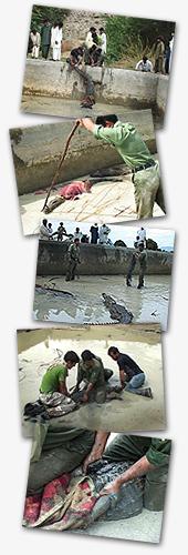 Das persische Krokodil - Collage